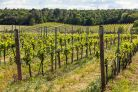 DOC vineyard for sale in Umbria